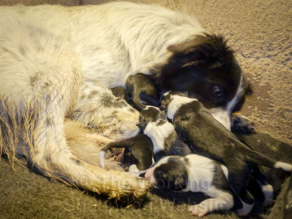 Lovely black and white border collie with litter of day old puppies