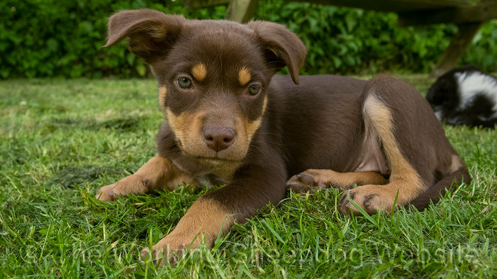 Molly is a red and tan Kelpie puppy aged eight weeks