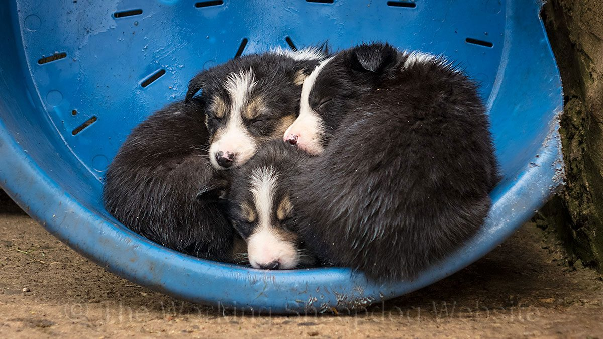 Three young puppies huddled together in an upturned dog bed