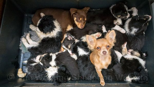 Large dog bed filled with border collie, kelpie and chihuahua pups