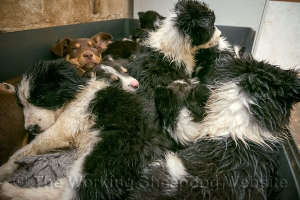 A solitary Kelpie puppies face looks out from a mass of wet border collie puppies in a dog bed