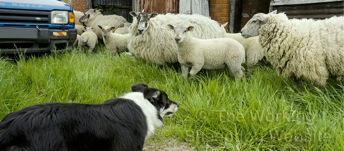 Bronwen demonstrates self control as she watches the sheep coming out of a tight spot