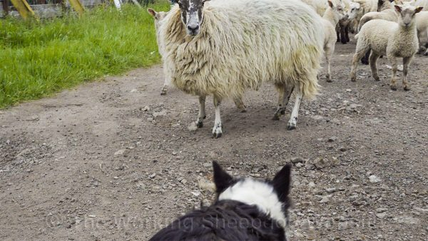 Kay uses quiet self confidence to move a difficult ewe without aggression