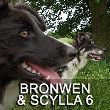 Herding and stock dog training video about training two litter sisters, Bronwen and Scylla