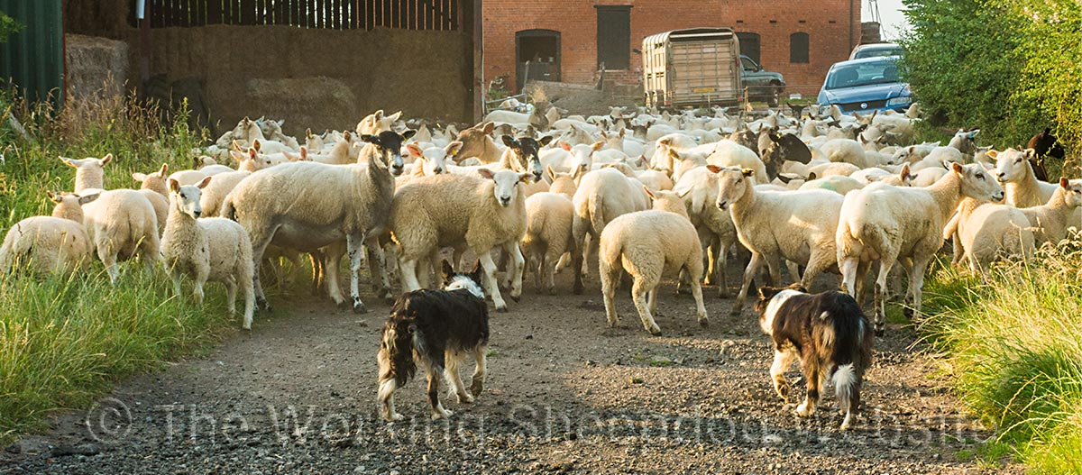 Sheepdogs herding a flock of reluctant ewes and lambs