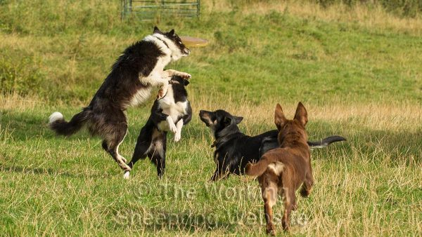 Sheepdogs playing with a frisbee
