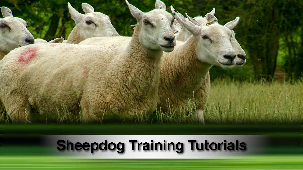 Video tutorials for training stock dogs and sheepdogs