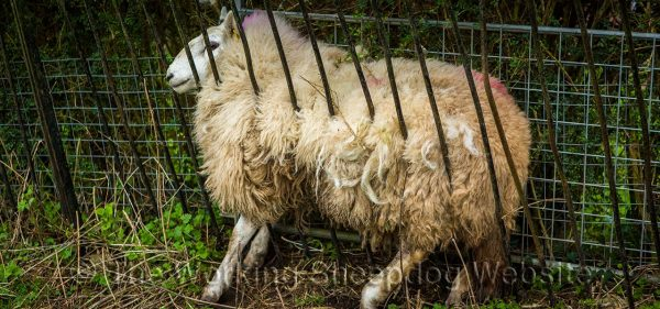 This sheep has got herself trapped. It looks as though the bars of the fence go through the sheep, but they're only squeezing the wool