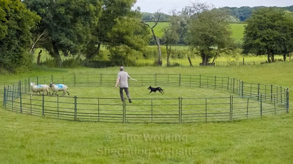 Young Kelpie being trained to herd sheep in a training ring