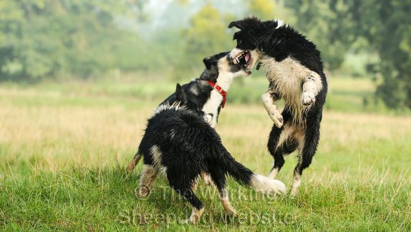 Three five month old puppies leaping as they play very hard in the field