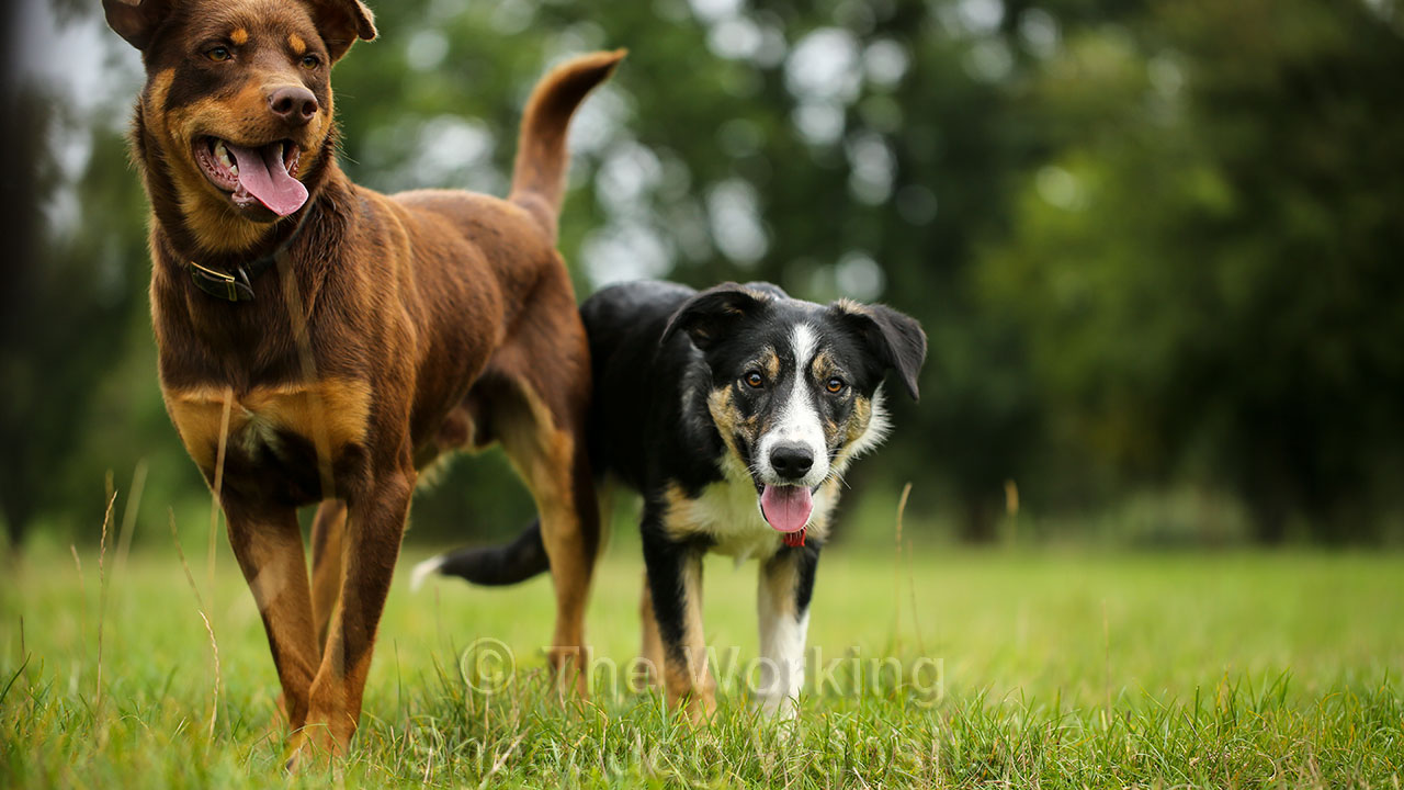 Kelpie Will and Border Collie pup Jago standing side by side