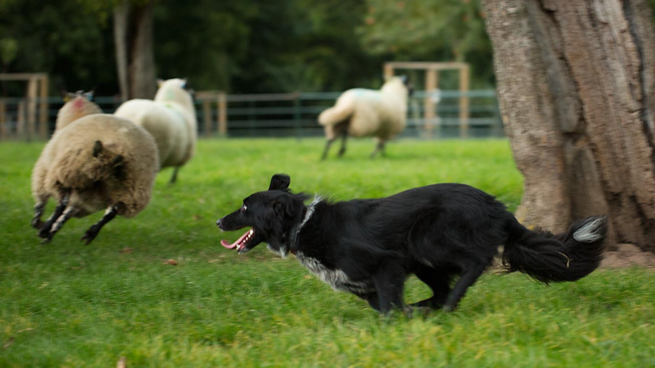 With further training, Jet will make an excellent sheep or cattle dog