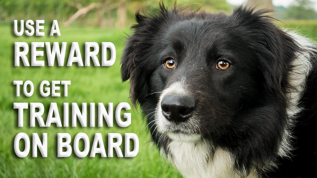 Herding sheep and cattle dog Odo was afraid of vehicles until he was trained with a reward