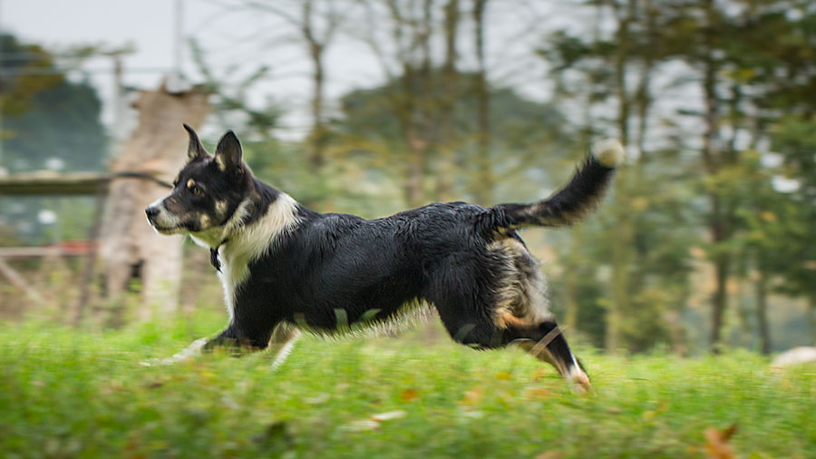 Non-working collie dog for sale