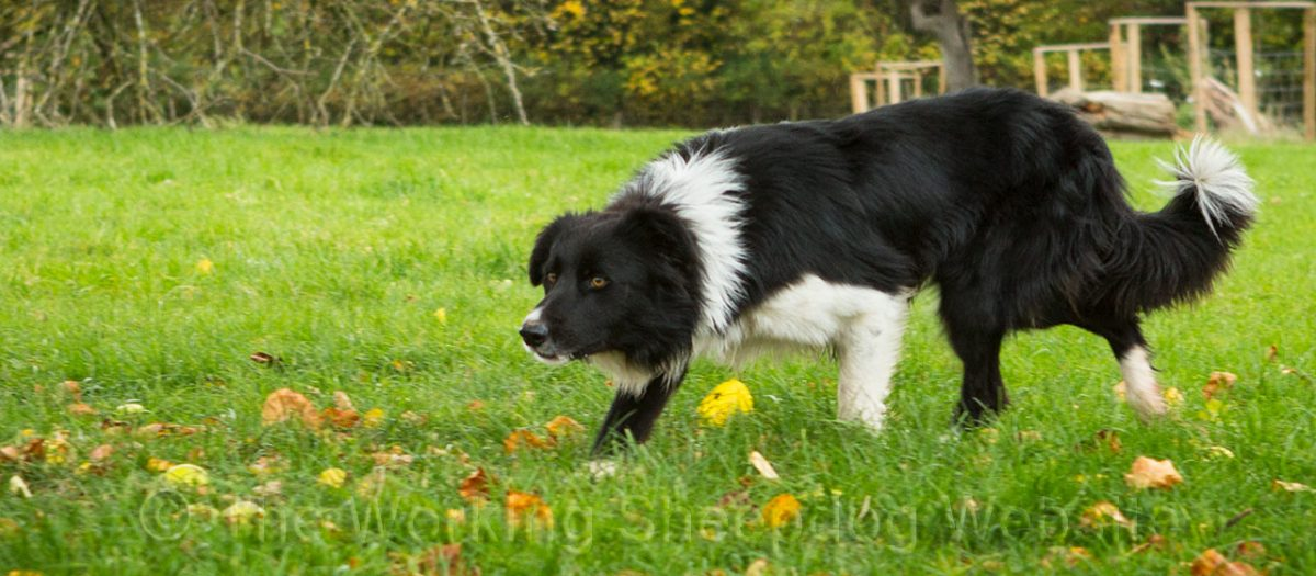A good looking border collie sheepdog, walking up toward some sheep