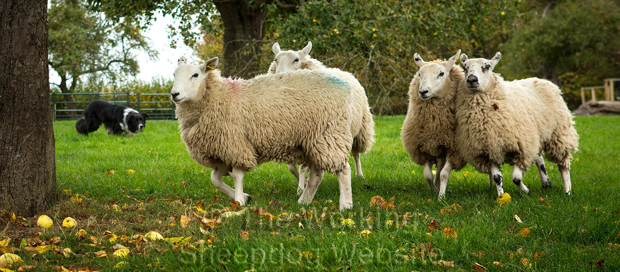 A closeup photograph of Sheepdog Odo keeping control of four sheep under some apple trees