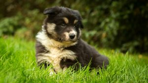 Rough coated tri-colour border collie sheepdog puppy, Mew