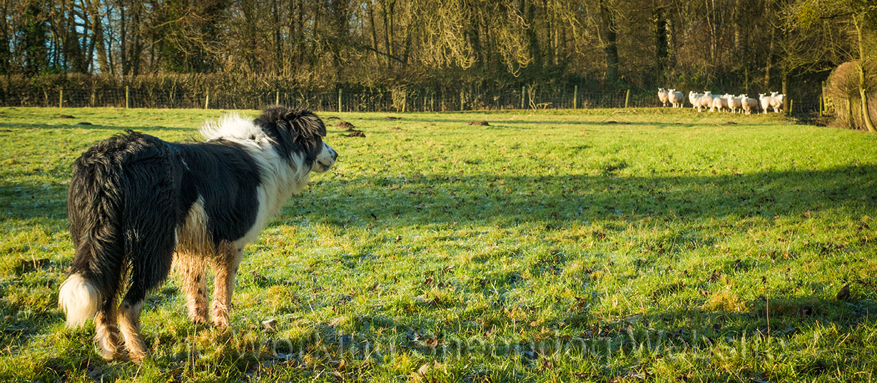 A rough coated black and white sheepdog watching sheep in the corner of a field