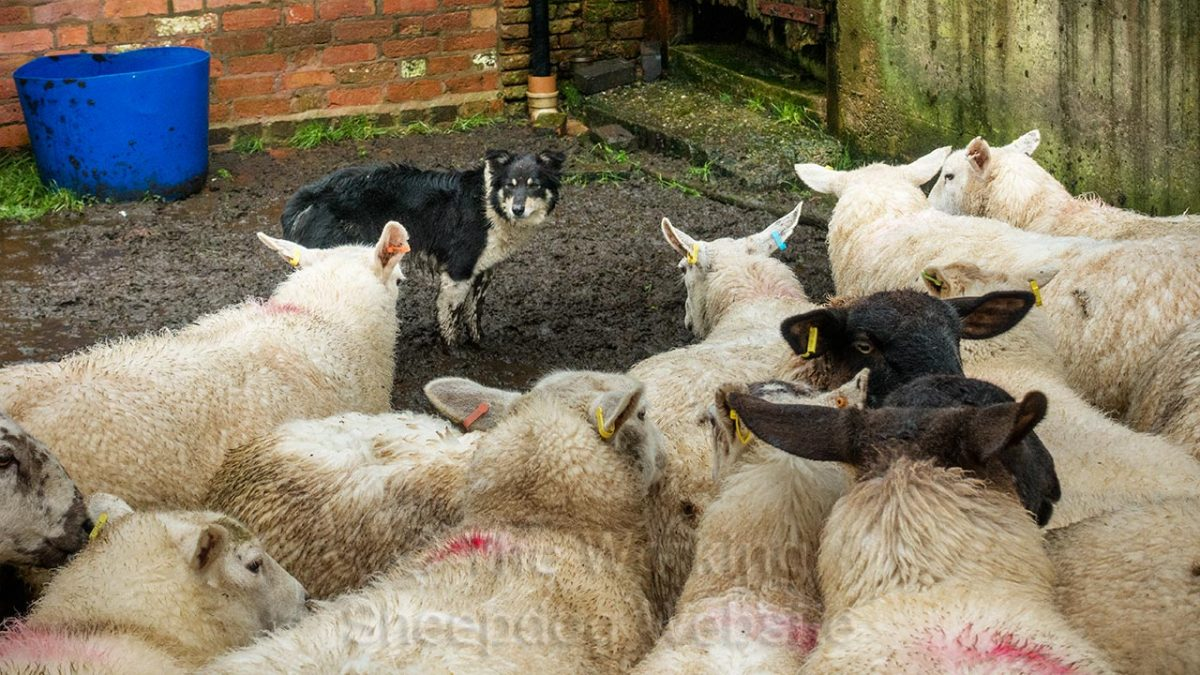 Bronwen standing in the corner of the yard with several ewes facing her, very close, but she's not intimidated by them.