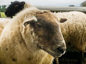 Close up of a sheep's face. This ewe was very strong-willed