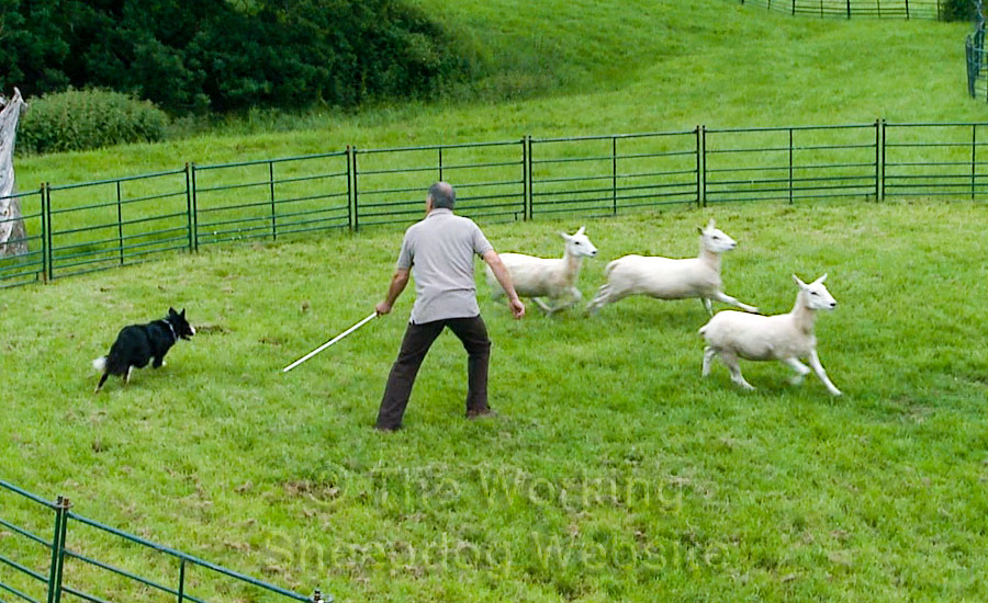 Using the training stick whilst training a stock dog