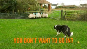Border Collie Sheepdog Carew gently pushes reluctant sheep into a pen