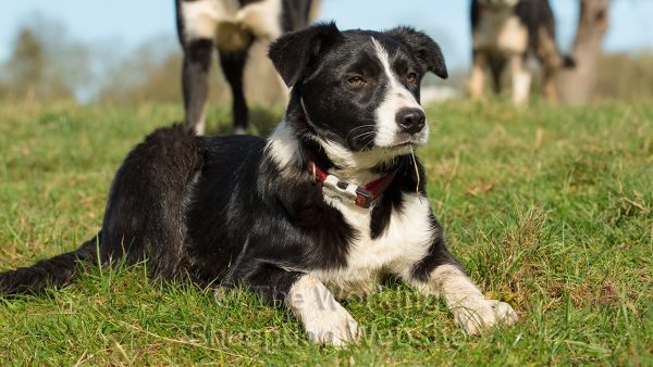 Smooth coated black and white collie puppy enjoying the spring sunshine