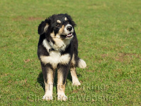 Tricolour Border collie puppy standing in the sunshine