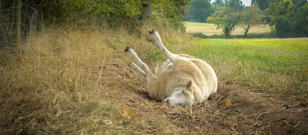 Photo of a sheep lying on its side and unable to right itself
