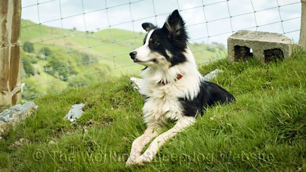A close up picture of our cattle and sheep herding dog Dot lying on a steep bank, looking into the distance