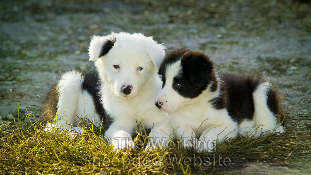 How Do You Feel About Unusually Marked Puppies We Love Them The Working Sheepdog Website