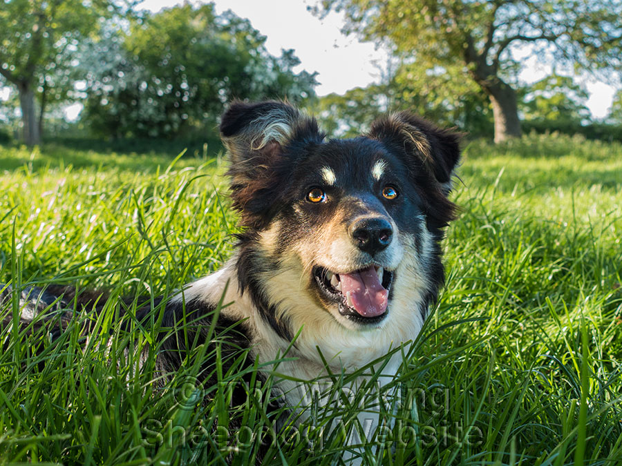 A lovely close up photo of a bright-eyed Bronwen looking upwards as she lies in the grass