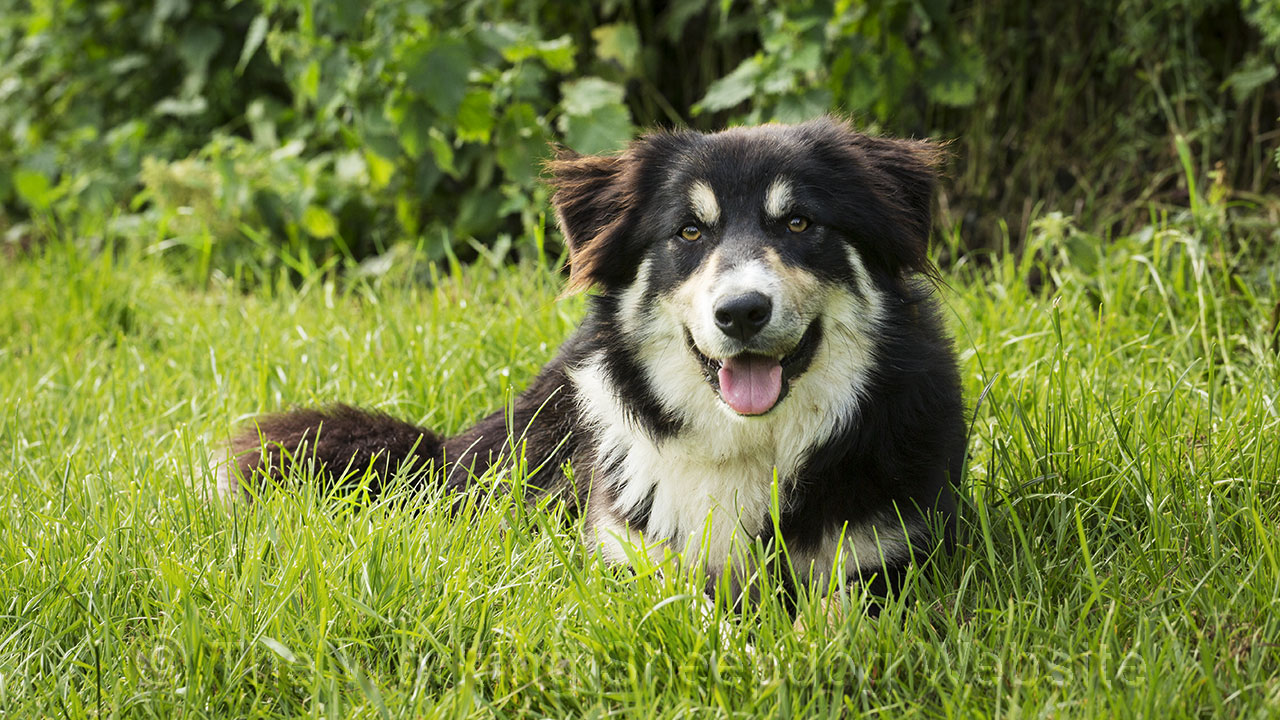 Close up photo of tricolour border collie sheepdog Mew lying in the grass.