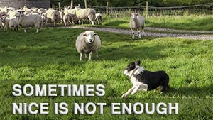 A border collie sheepdog turning away from an attacking sheep