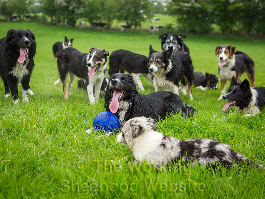A large group of sheepdogs lying on the grass. One of them has possession of a ball