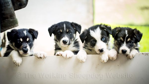 Four border collie puppies looking over a barrier. One has a wall (blue) eye.