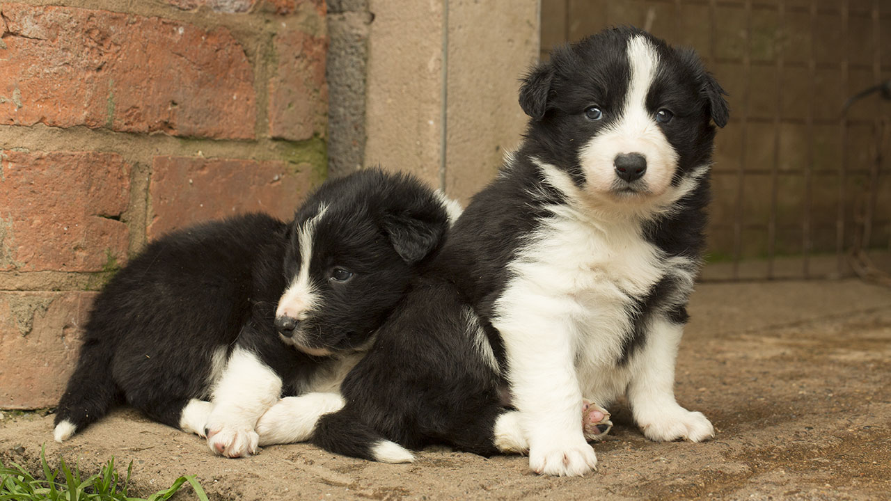 Black and white rough coated Border collie puppies
