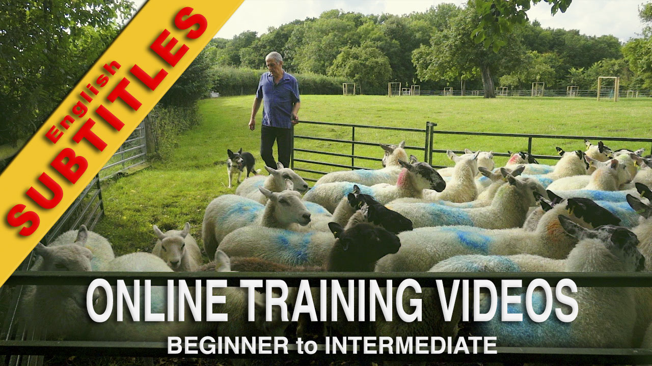 Online Sheepdog Training Tutorial Title Image - Kay has safely brought the sheep into the pen