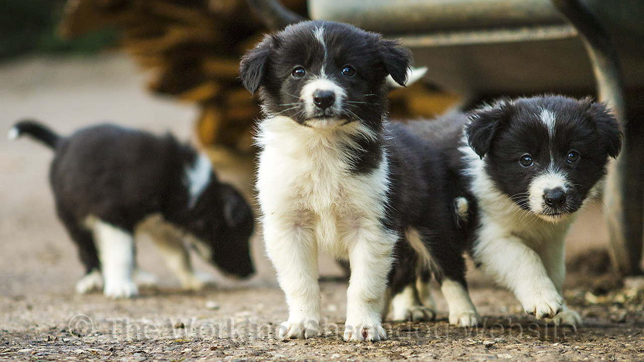 Should You Buy More Than One Puppy At A Time The Working Sheepdog Website