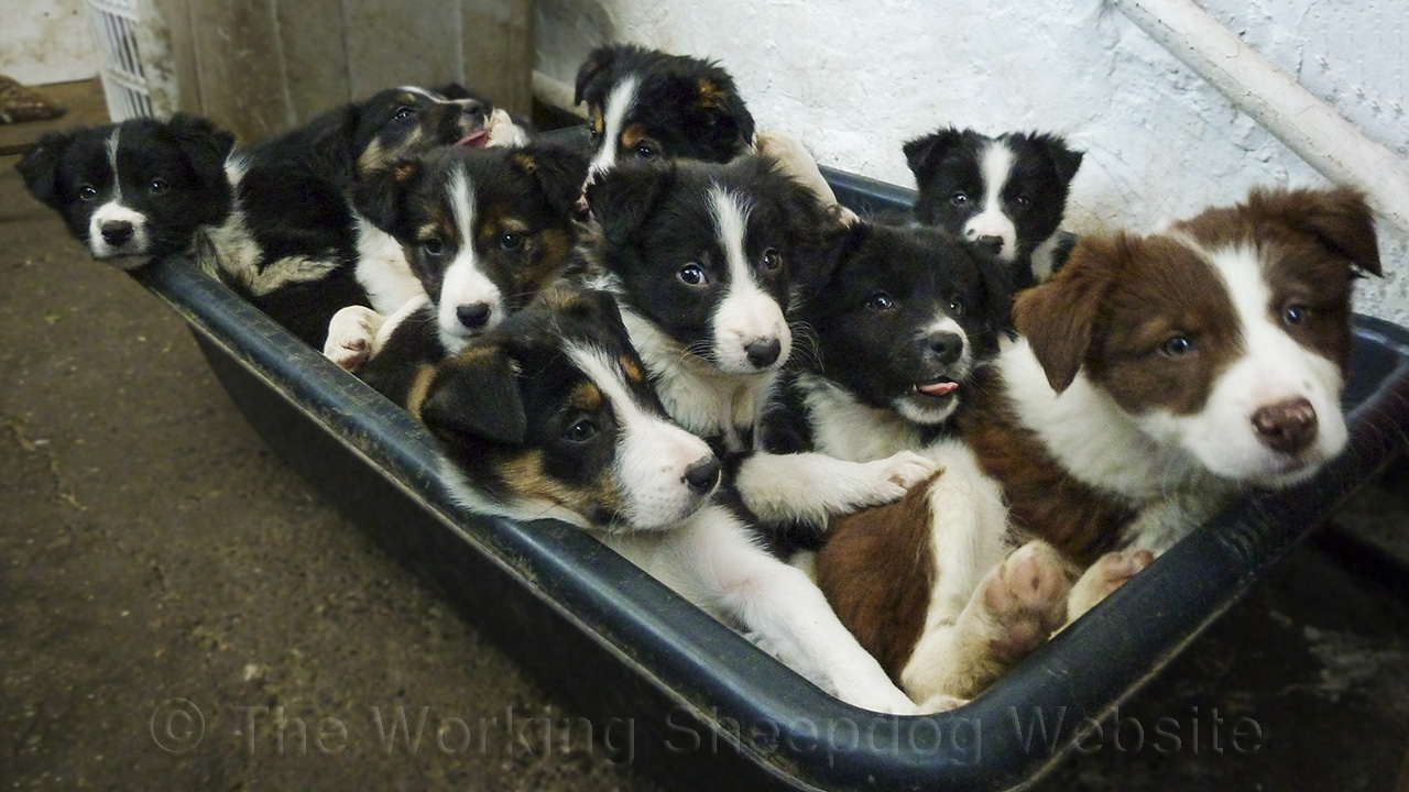 Photo of ten or more puppies crowded into a bed. Nearly all of the pups are looking towards the camera and looking bright and cheerful!