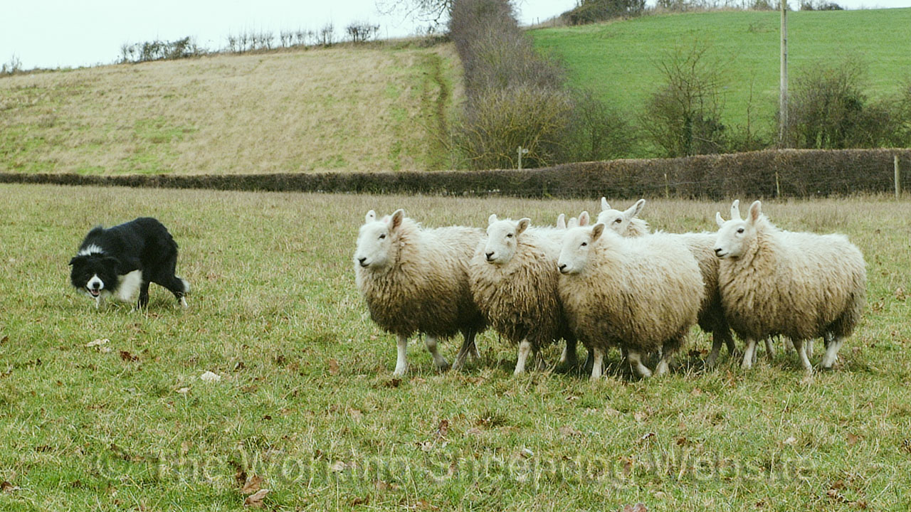 Sheepdog moving sheep