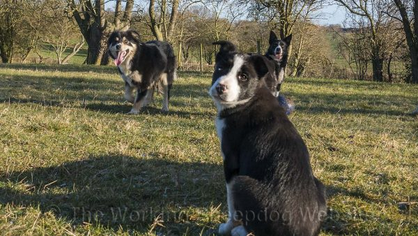 Smooth coated border collie puppy Boz