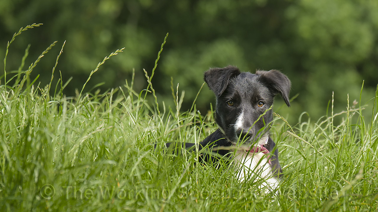 Smooth coated black and white collie puppy, enjoying the sunshine