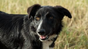 Smooth coated small border collie puppy