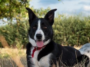 Smooth coated border collie black and white female with pricked ears