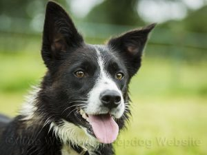 Head and ears of smooth coated sheepdog