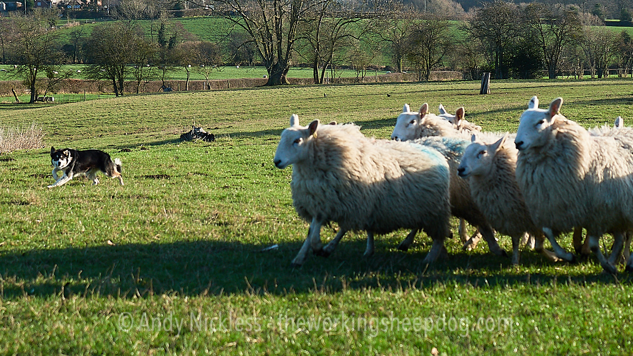 Border collie maintaining the point of balance while working sheep in a field