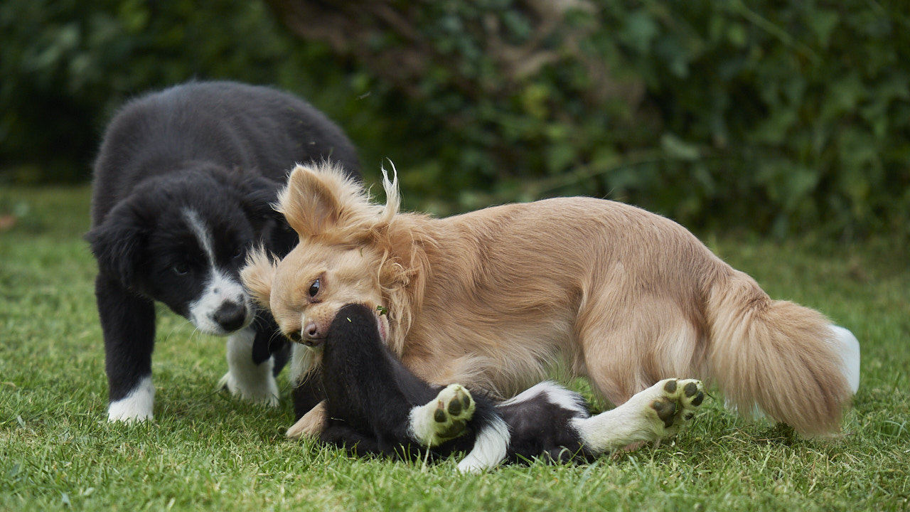 Collies and Chihuahuas can be great friends