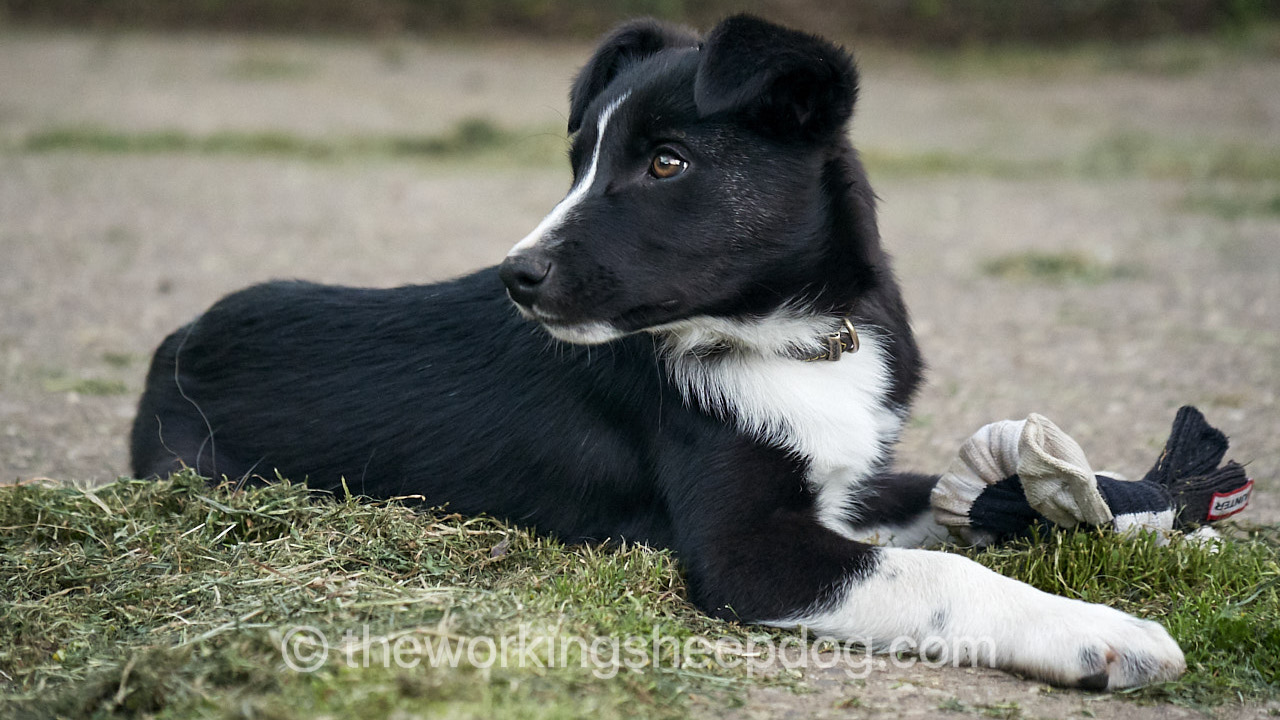 Sheepdogs Pups For Sale The Working Sheepdog Website