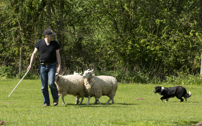 Photo of a man training with a young collie and a few sheep